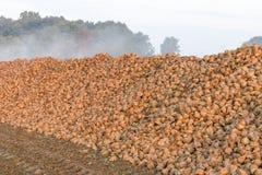 Bruna sockerbetor som ångar i morgonsolen arkivfoton