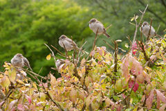 bruna sparrows för domesticushusförbipasserande Arkivfoto