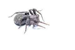bruna spindlar Fotografering för Bildbyråer