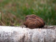Bruna svampar på ett träd Royaltyfria Foton