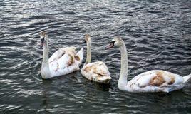 Bruna svanar för vit på sjön Ohrid, Makedonien royaltyfria bilder
