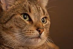 Bruna Tiger Portrait royaltyfria bilder