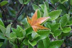 Bruna tjänstledigheter som klamra sig fast intill en våt grön buske Arkivbild