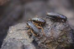 Bruna tropiska kackerlackor arkivbild