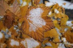 Bruna vinbärtjänstledigheter med snö Arkivfoton