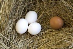 bruna vita äggägg Royaltyfri Foto