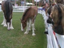 Bruna vita hästar Royaltyfria Bilder