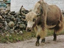 Bruna vita yak Royaltyfria Bilder