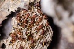 Wasps i bygga bo Royaltyfri Foto