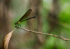 Brunaktig och grönaktig bakgrund av damselflyen arkivfoton