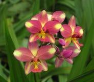 Brunaktiga röda och gula orkidér Royaltyfria Foton