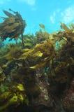Brunalg på reven för grunt vatten Arkivbilder