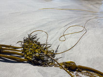 Brunalg på stranden arkivbild