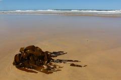 Brunalg som tvättas upp på en australisk strand Arkivbild
