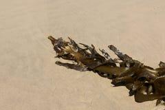 Brunalg som tvättas upp på en avlägsen strand Royaltyfri Bild