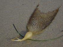 Brunalgblad och kula på strandsand Arkivfoton
