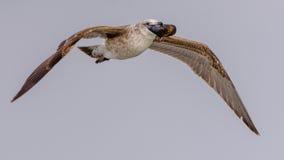 Brunalgfiskmås II arkivfoto