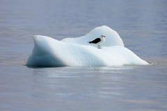 Brunalgfiskmås, larusdominicanus som svävar på isisflak, antarktiskt hav arkivbilder