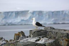 Brunalgfiskmås på en vagga i Antarktis Arkivfoton