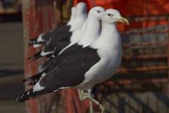 Brunalgfiskmåsar Royaltyfri Fotografi