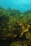 Brunalgskog för grunt vatten Royaltyfri Bild