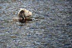brunatny的Niedźwiedź (熊属类arctos) 免版税库存照片