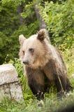 Brunbjörn Arkivfoton