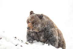 Brunbjörn royaltyfri fotografi