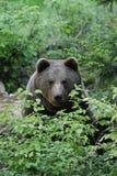 Brunbjörn bak en buske royaltyfri foto