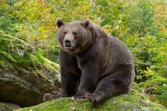 Brunbjörn i bavarianskogen fotografering för bildbyråer