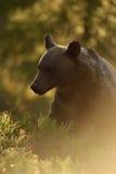 Brunbjörn i en skog med contra ljus för afton Arkivbilder