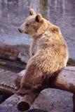 Brunbjörn i en zoo Arkivfoton