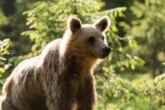 Brunbjörn i finlandssvensk skog Arkivfoto