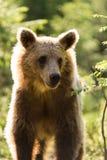 Brunbjörn i finlandssvensk skog Royaltyfri Foto