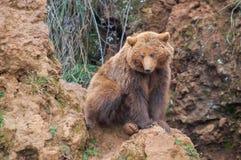 Brunbjörn i norden av Spanien, Cantabria royaltyfri fotografi