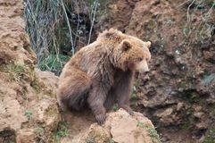 Brunbjörn i norden av Spanien, Cantabria royaltyfria foton