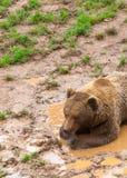 Brunbjörn i norden av Spanien, Cantabria royaltyfri foto