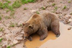 Brunbjörn i norden av Spanien, Cantabria fotografering för bildbyråer