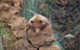 Brunbjörn i norden av Spanien, Cantabria arkivbilder