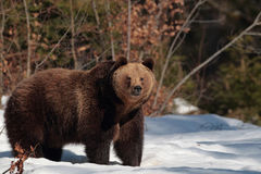 Brunbjörn i skogen av Maramures berg fotografering för bildbyråer