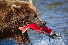 Brunbjörn med den röda laxen in Royaltyfri Foto