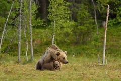 Brunbjörn med gröngölingar i myren Arkivfoto