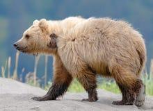 Brunbjörn med Sandy Paw Royaltyfri Fotografi