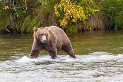 Brunbjörn på bäcknedgångar Arkivfoton