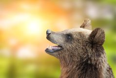 Brunbjörn på grön solig bakgrund arkivbilder