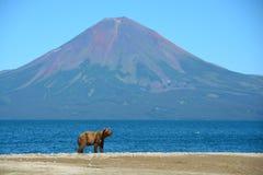 Brunbjörn på kusten av sjön kamchatka Royaltyfria Foton