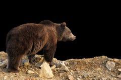 Brunbjörn på mörk bakgrund royaltyfri foto