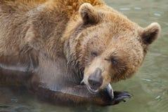 Brunbjörn på matställetid Fotografering för Bildbyråer