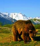 Brunbjörn på mitten för Alaska djurlivbeskydd Royaltyfria Bilder