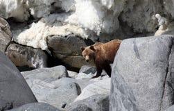 Brunbjörn på våren vid havet Far East Royaltyfri Fotografi